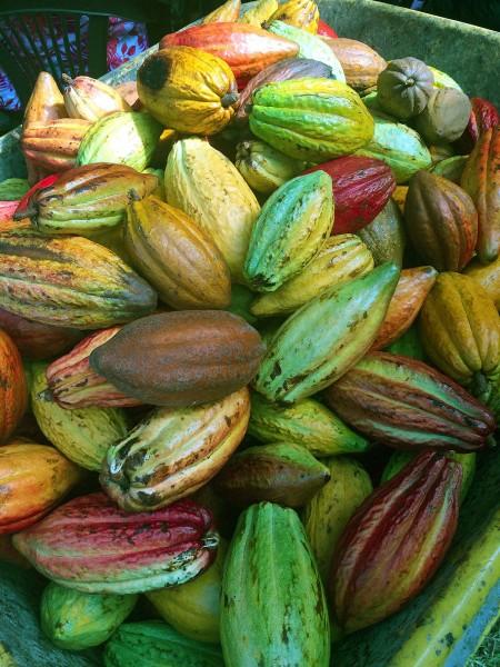 Kakaofrucht, Kakaoschote, Kakao ernten